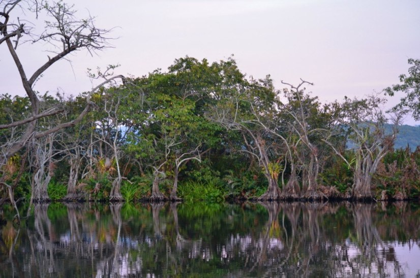 Photo of trees in the mangrove swamp near San Blas, Mexico