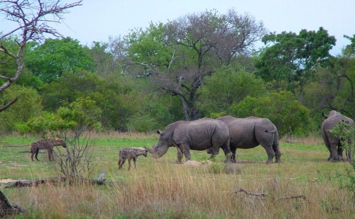 rhinos and hyenas on armed safari, kruger national park, south africa, pic 5