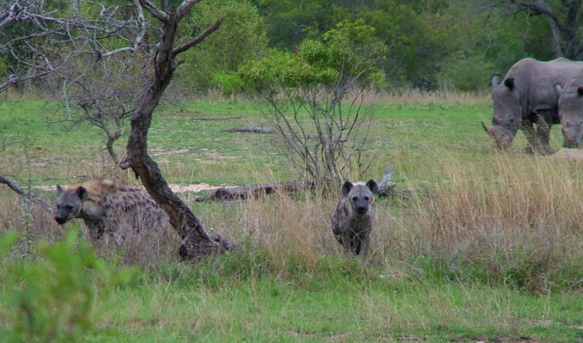 rhinos and hyenas on armed safari, kruger national park, south africa