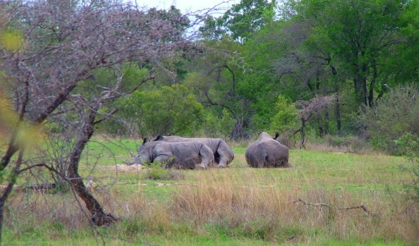 rhinos on armed safari, kruger national park, south africa, pic 4