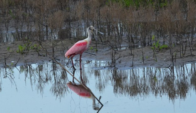 A Roseate spoonbill along the shore in San Blas, Mexico