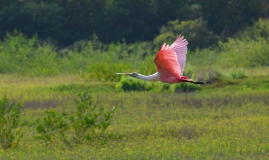 An image of a Roseate spoonbill in flight over the shrimp ponds near San Blas, Mexico.