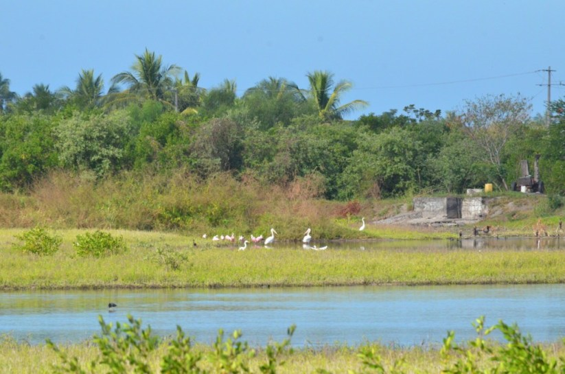 Various birds at the shrimp ponds in San Blas, Mexico