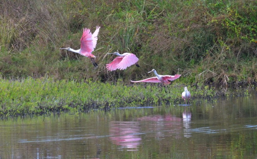 Roseate spoonbills take flight at the shrimp ponds in San Blas, Mexico