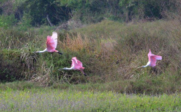 Three Roseate spoonbills in flight at the San Blas shrimp ponds, Mexico