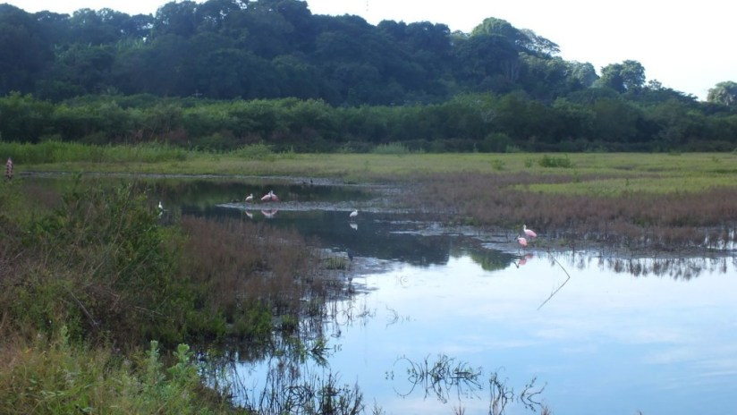 Roseate spoonbills and other birds in shrimp ponds, at San Blas