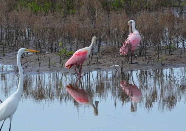 Two Roseate spoonbills in San Blas, Mexico