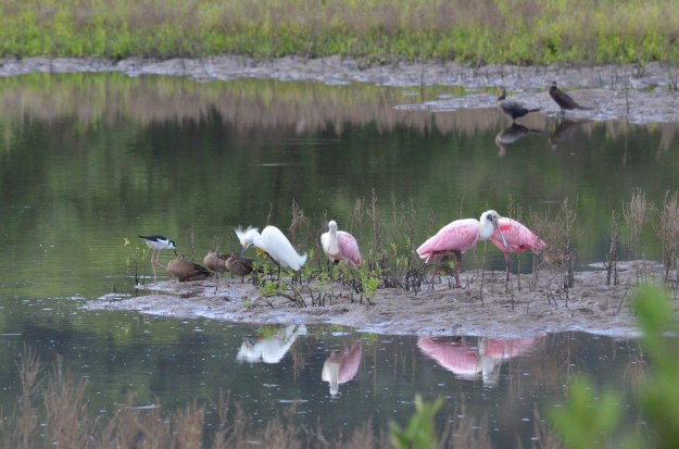 An image of Roseate Spoonbills at the shrimp ponds near San Blas, Mexico.