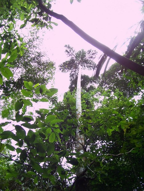 Walking palm tree at Sandoval Lake Lodge, Lake Sandoval, Amazon Delta, Peru, amazon basin, peru