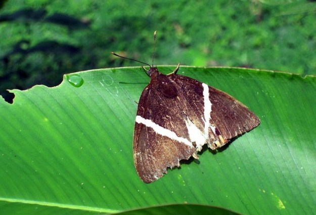 Cane Borer Moth at Sandoval Lake Lodge, Lake Sandoval, Amazon Delta, Peru