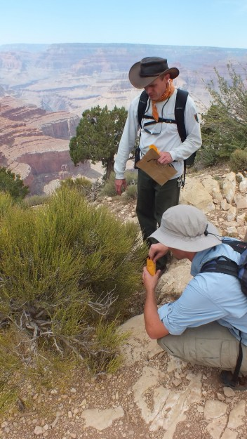 Botanists collecting mormon tea plant seeds on the South Rim at Grand Canyon National Park in Arizona, U.S.A.