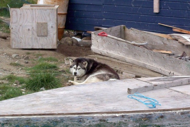 photograph of a husky dog in Pangnirtung on Baffin Island, Nunavut, Canada.