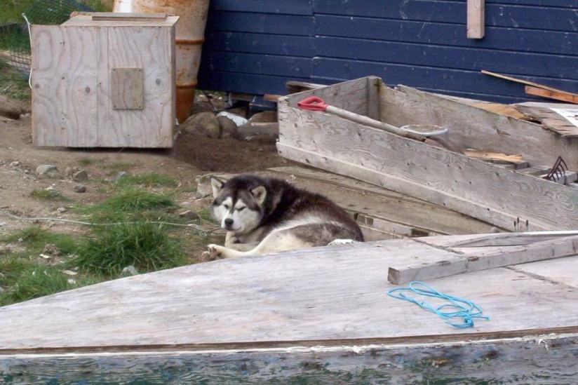 photograph of a husky dog in Pangnirtung on Baffin Island, Nunavut, Canada.