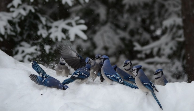 Blue Jays on a snow drift in Algonquin Park in Ontario, Canada