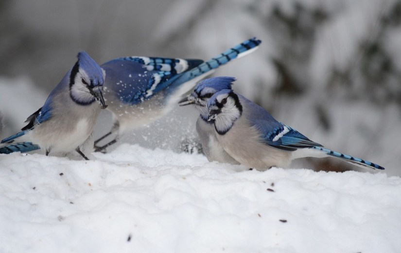 Blue Jays eat seeds on a snow drift in Algonquin Park in Ontario, Canada