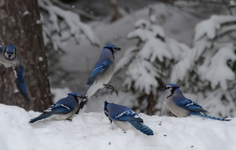 A Blue Jay dances on a snow drift in Algonquin Park in Ontario, Canada