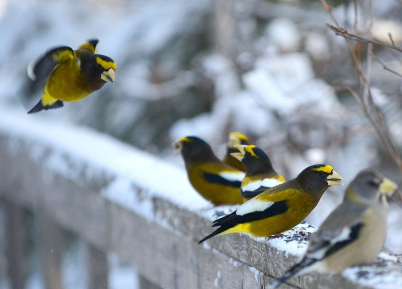 Image of Evening grosbeaks eating bird food along the Spruce Bog Trail in Algonquin Park