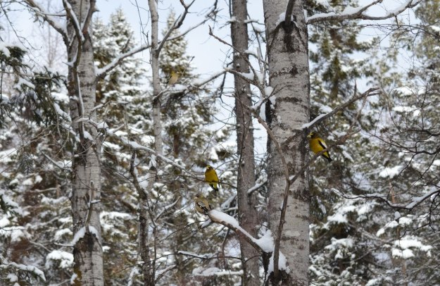 Evening grosbeaks sitting in a tree in the winter in Algonquin Park, Ontario