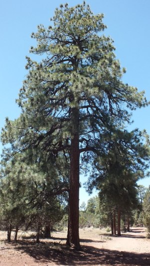 Ponderosa pine tree growing on the South Rim at Grand Canyon National Park, Arizona, U.S.A.