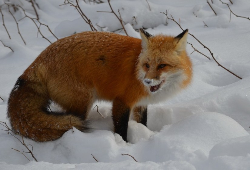 Red fox chews on find in Algonquin Park in Ontario, Canada