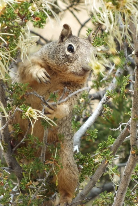 Rock squirrel in a bush on the South Rim at Grand Canyon National Park in Arizona, U.S.A.