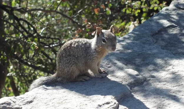 Rock squirrel sitting on wall on the South Rim at Grand Canyon National Park, Arizona, U.S.A.