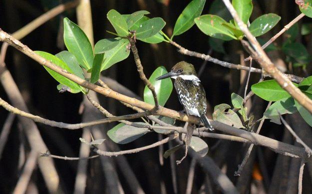 Green Kingfisher, male, mangrove swamp, san blas, mexico , pic 8