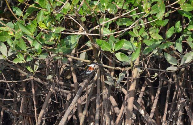 Green Kingfisher, male, mangrove swamp, san blas, mexico , pic4
