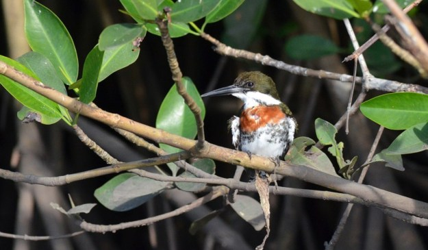 Green Kingfisher male, mangrove swamp, san blas, nayarit, mexico, pic 2