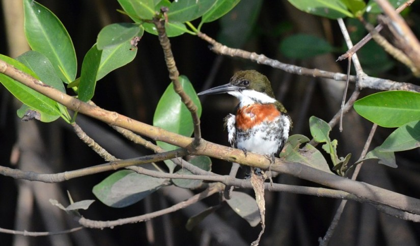 Green Kingfisher male, mangrove swamp, san blas, nayarit, mexico, pic 2