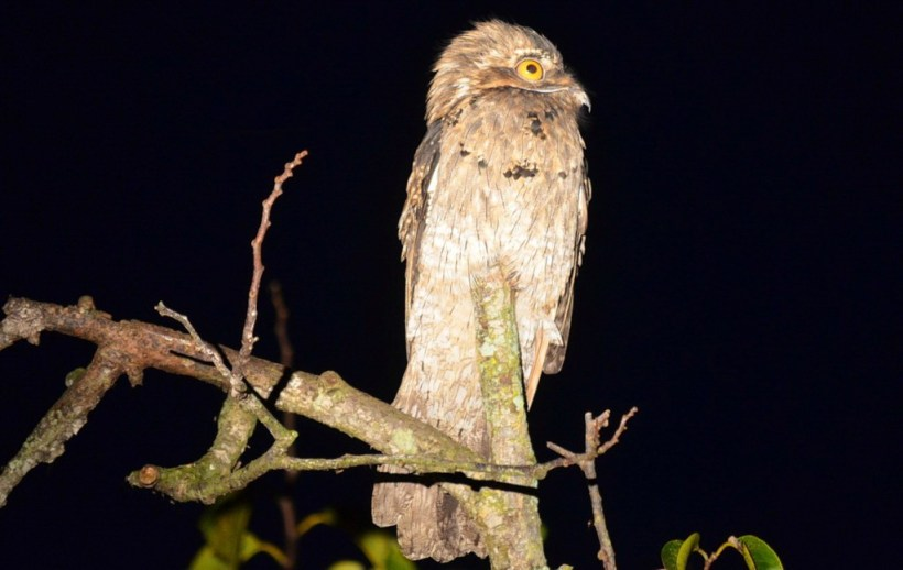 Northern Potoo in the mangrove swamp at san blas, mexico, pic 5