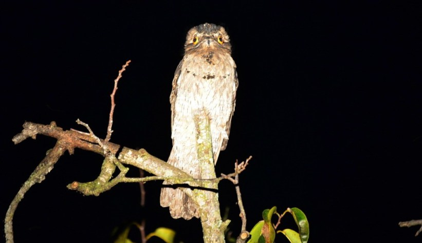 Northern Potoo, mangrove swamp, san blas, nayarit, mexico, pic 6