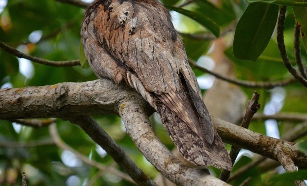 Northern Potoo tail in the mangrove swamp, san blas, nayarit, mexico