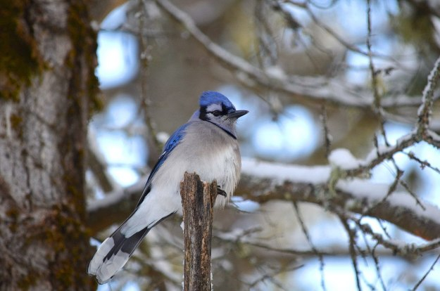 Blue jay along the spruce bog boardwalk trail in algonquin park, ontario