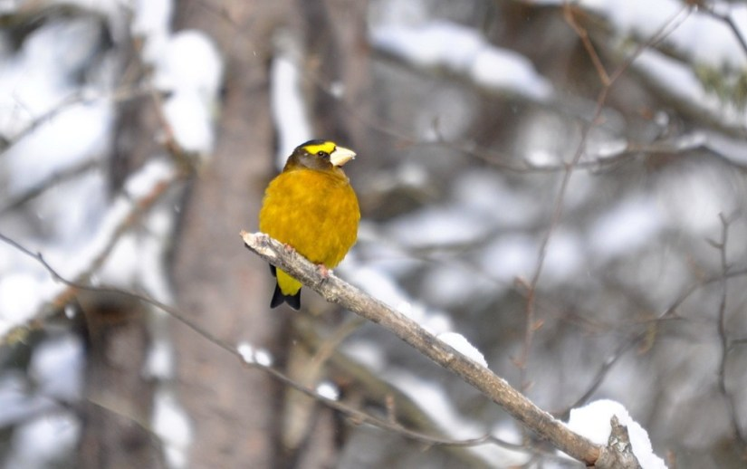 Image of an Evening grosbeak sitting on a tree limb in Algonquin Park, Ontario