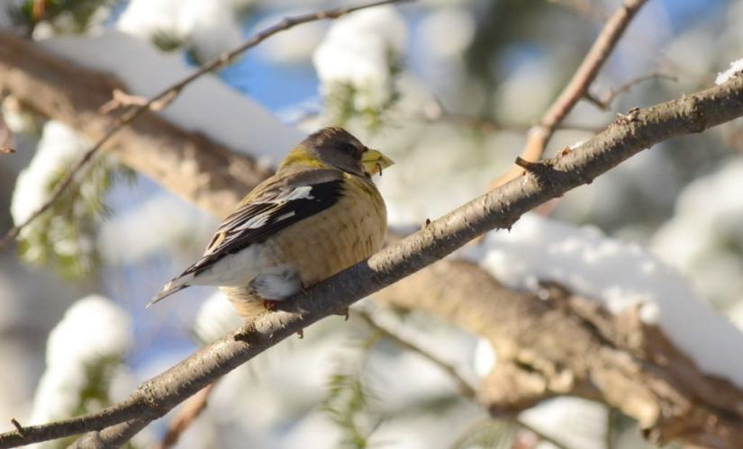 Image of an Evening grosbeak sitting on a tree limb in Algonquin Park