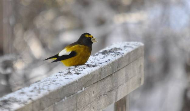 evening grosbeak sings out in algonquin park, ontario, pic24
