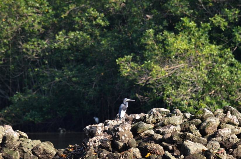 tri-colored heron, mangrove swamp, san blas, mexico, pic 8