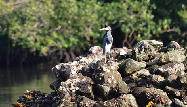 tri-colored heron, mangrove swamp, san blas, mexico, pic 9