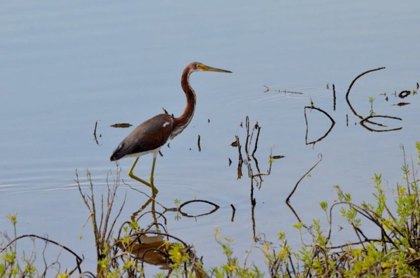 tri-colored heron, shrimp ponds, san blas, mexico, pic1