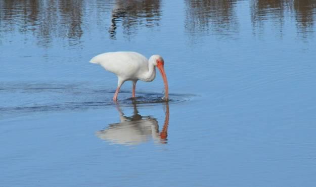 white ibis at shrimp ponds, san blas, mexico, pic 1