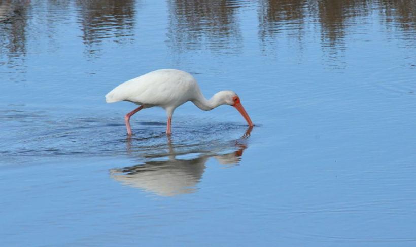 white ibis at shrimp ponds, san blas, mexico, pic 6