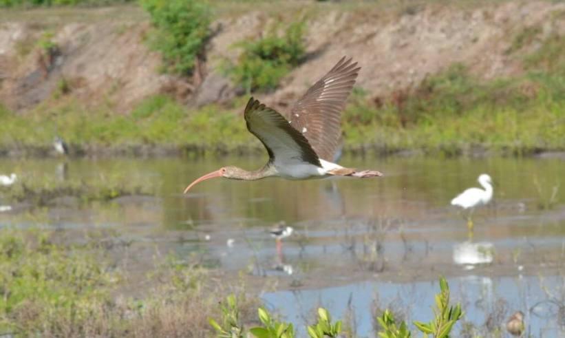 white ibis, juvenile, san blas, shrimp ponds, mexico pic 1