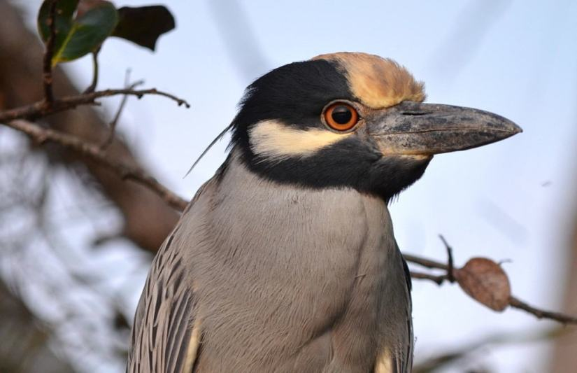 Yellow-crowned Night Heron, mangrove swamp, san blas, nayarit, mexico, pic 19