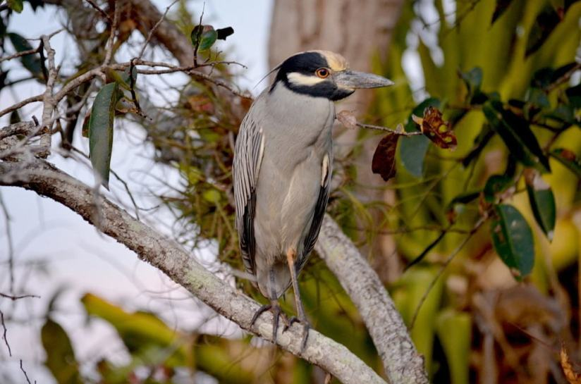 Yellow-crowned Night Heron, mangrove swamp, san blas, nayarit, mexico, pic 20
