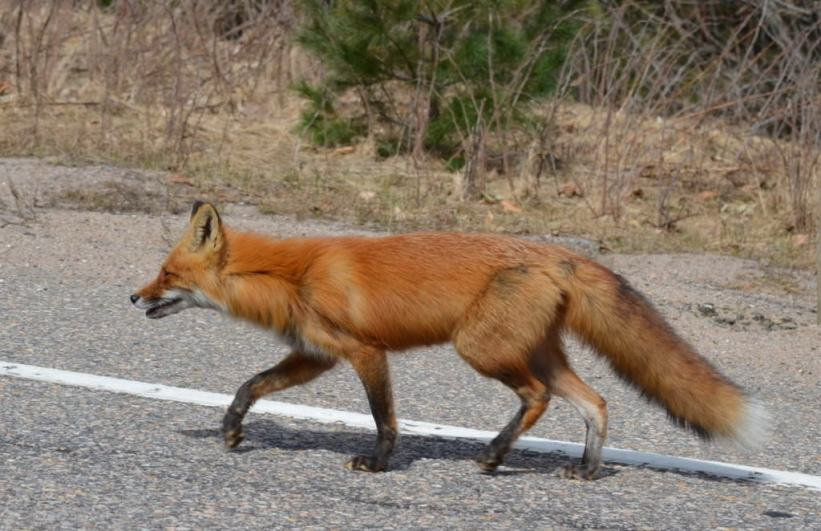 Image of a Red fox crossing hwy 60 near Mew Lake in Algonquin Park, Ontario.