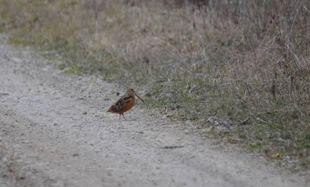 american woodcock, carden alvar, city of kawartha lakes, ontario, pic3