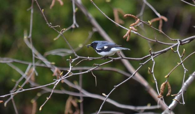 black-throated blue warbler, male, toronto, pic 1