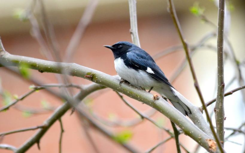 black-throated blue warbler, male, toronto, pic 3