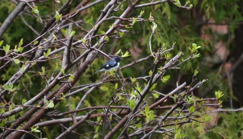 black-throated blue warbler, male, toronto, pic 6